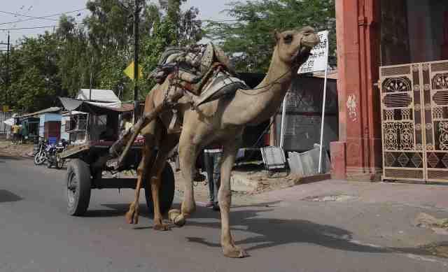 Camel cart Bikaner